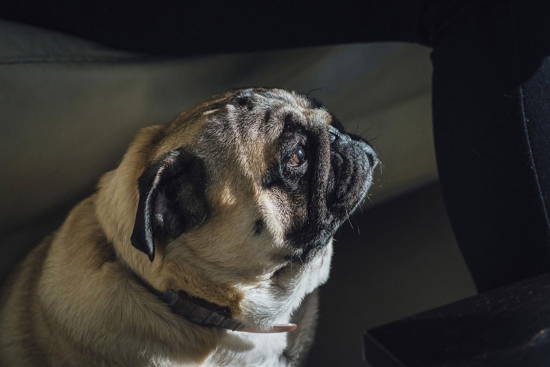 perros-pug-1