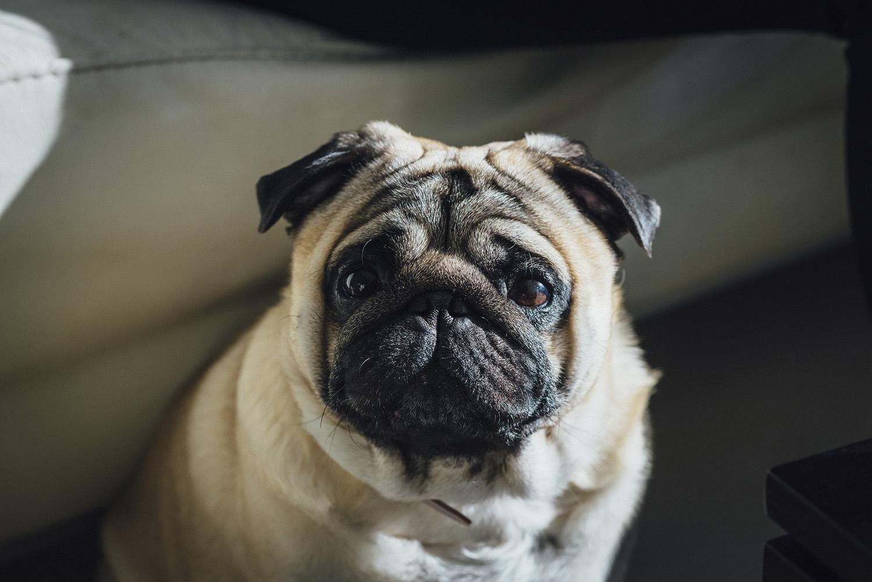 perros-pug-2